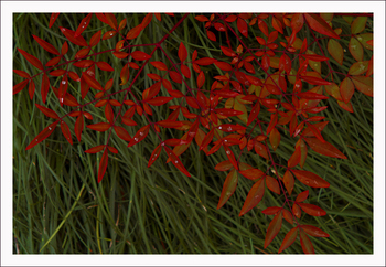 赤い葉っぱ.jpg